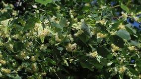 Цветки липы на дереве во дне лета солнечном ветерок легкий сток-видео