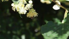 Цветки липы на дереве во дне лета солнечном Пчела сидит на цветке headfirst видеоматериал