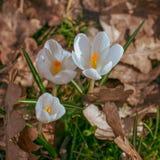 Цветки дикого крокуса на прогулке полесья стоковые фотографии rf