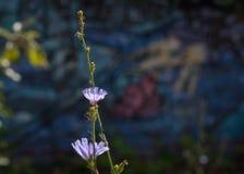 Цветки цикория против Graffitti стоковое изображение rf