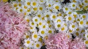 Цветки розовой и белой маргаритки акции видеоматериалы