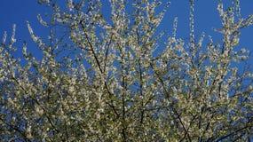 цветущее дерево. Spring tree in white flowers Stock Photo