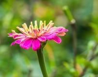 Цвет пинка ynicism  цветка Ñ в саде Цвести пинк c стоковая фотография rf