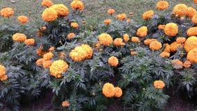 Цвет цветков ноготк желтый стоковые изображения