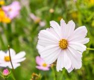 Цвет osmos цветка белый в саде Цвести белый крупный план цветка космоса стоковые изображения