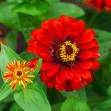 Цвет ynicism  цветка Ñ красный в саде Цвести красный конец-вверх цинизма стоковая фотография