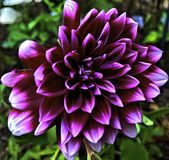 Цветок, георгин, пурпур, гибрид от wildflower стоковая фотография