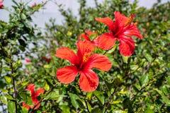 Цветок гибискуса на кустарнике стоковая фотография rf