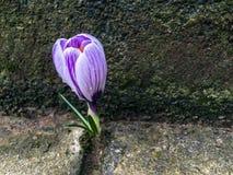 Цветок крокуса пусканный ростии между плитками мостовой стоковые изображения