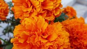 Цветок ноготк дуя в воздухе сток-видео