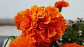 Цветок ноготк дуя в воздухе видеоматериал