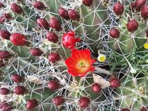 Цветок пряча среди кактуса стоковые изображения