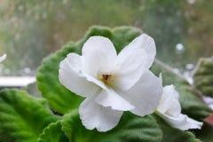 Цветок узамбарской фиалки комнатного растения белый, африканский фиолет, в цветени стоковая фотография rf