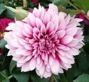 Цветок хризантемы стоковые фотографии rf