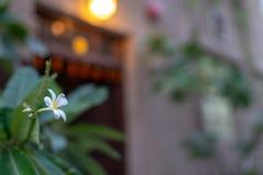 Цветок Frangipani, Duba стоковое фото