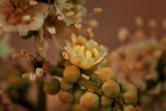 Цветок Longan стоковое изображение rf