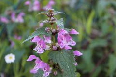 Цветок Maculatum Lamium стоковые фотографии rf