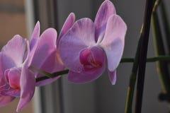 Цветок орхидеи в саде на зима или весенний день для дизайна концепции красоты и идеи земледелия открытки Орхидея стоковое изображение