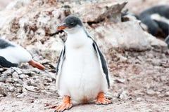 Цыпленок пингвина Gentoo с большими ногами стоковые фото