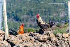 2 цыплят стоят перед загородкой стоковые изображения rf