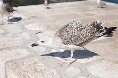 Чайка борется для еды стоковая фотография