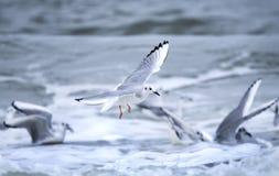 Чайки Bonaparte дуря в волнах Атлантического океана стоковые изображения