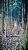 Часть леса с соснами стоковые изображения rf