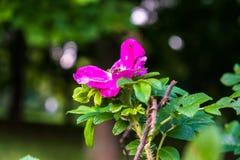 Часть сочного кустарника плода шиповника, богато обитая с розовыми цветками под золотым солнечным светом Влюбленность, счастье, w стоковое изображение rf