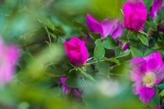 Часть сочного кустарника плода шиповника, богато обитая с розовыми цветками под золотым солнечным светом Влюбленность, счастье, w стоковая фотография