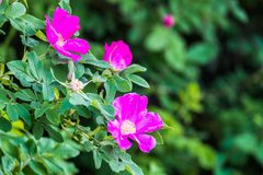 Часть сочного кустарника плода шиповника, богато обитая с розовыми цветками под золотым солнечным светом Влюбленность, счастье, w стоковые изображения