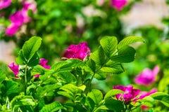 Часть сочного кустарника плода шиповника, богато обитая с розовыми цветками под золотым солнечным светом Влюбленность, счастье, w стоковое фото