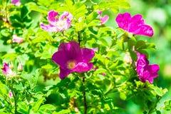 Часть сочного кустарника плода шиповника, богато обитая с розовыми цветками под золотым солнечным светом Влюбленность, счастье, w стоковое фото rf