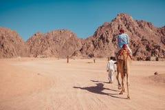 Человек путешественника едет верблюд в пустыне горами Синай Животное бедуина мальчика направляя каникула территории лета katya kr стоковое изображение
