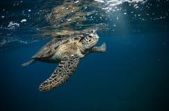 Черепаха Hawksbill плавая в темно-синую чистую воду стоковая фотография