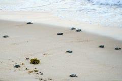 Черепахи младенца делая их первые шаги к океану стоковая фотография
