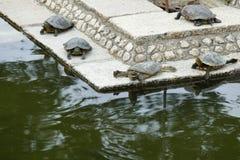 Черепахи на небольшом озере, Nara, Японии стоковые изображения rf