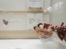 Череп динозавра в музее палеонтологии стоковые фотографии rf