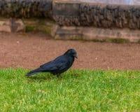 Черная ворона на зеленой лужайке в Дрездене, Германии стоковое фото rf