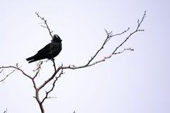 Черная ворона сидит на ветвях акации стоковые изображения rf