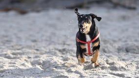 Черная такса с красной проводкой бежать свободно на песчаном пляже стоковое изображение rf