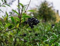 Черные дикие ягоды на ветви, после дождя стоковое фото
