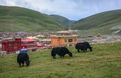 Черные яки на зеленом холме стоковые фотографии rf