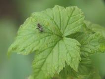 Черный муравей угощает сладкую росу смородины стоковое фото rf