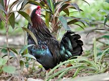 Черный петушок, парк птицы Куалаа-Лумпур стоковые изображения