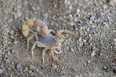 Черный скорпион, Кения, Африка стоковые изображения rf