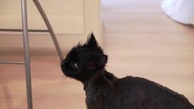 Черный уравновешенный кот акции видеоматериалы