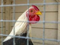 Черно-белый цыпленок с красным гребнем в клетке, за решеткой стоковые изображения rf