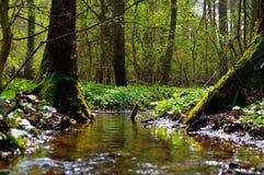 Чистый поток в старом лесе стоковое фото rf
