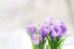 Чувствительный цветок крокуса зацвел на windowsill стоковые фото