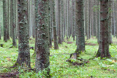 хвойный лес. Spruce forest, Fairy Forest, untouched spruce forest stock photography
